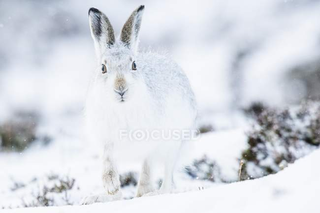 Mountain hare in winter coat sitting in snow, close-up — стоковое фото
