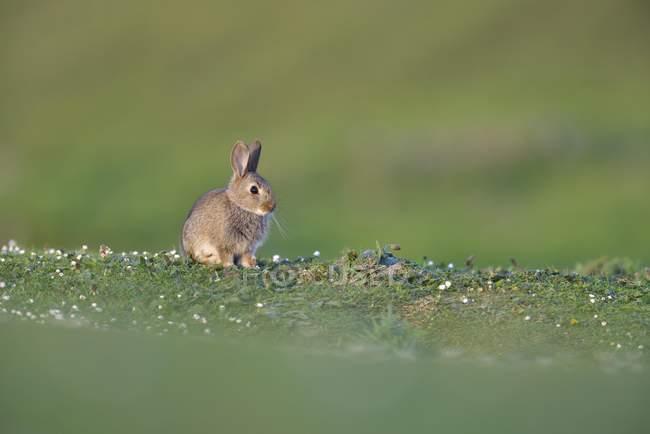 Молодые европейские кролик, сидя в зелёный луг — стоковое фото