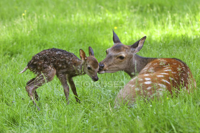 Sika deer doe with newborn fawn on green grass — стоковое фото