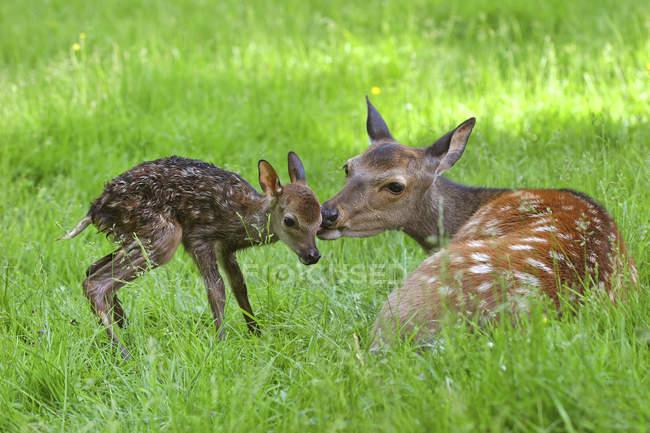 Пятнистый олень Доу с новорожденным олененком на зеленой траве — стоковое фото