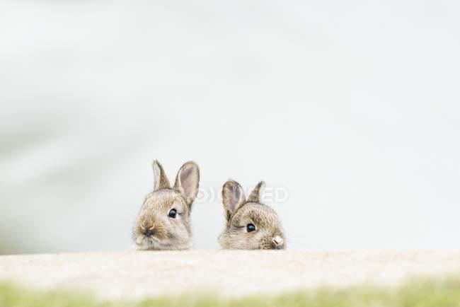Молодые европейские кроликов в естественной среде обитания, макро — стоковое фото