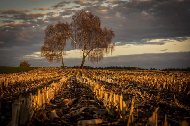 Harvested maize field with birch trees and cloudy sky, Mindelheim, Unterallgu, Bavaria, Germany, Europe — стоковое фото