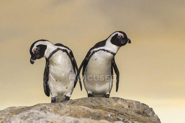 Jackass penguins at Boulders beach, Simonstown, Province Western Cape, South Africa — Stockfoto