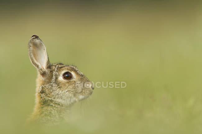 Европейский кролик, сидя в зелёный луг, вид сбоку — стоковое фото