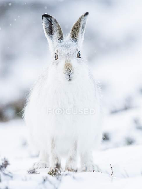 Mountain hare in winter coat sitting in snow — стоковое фото