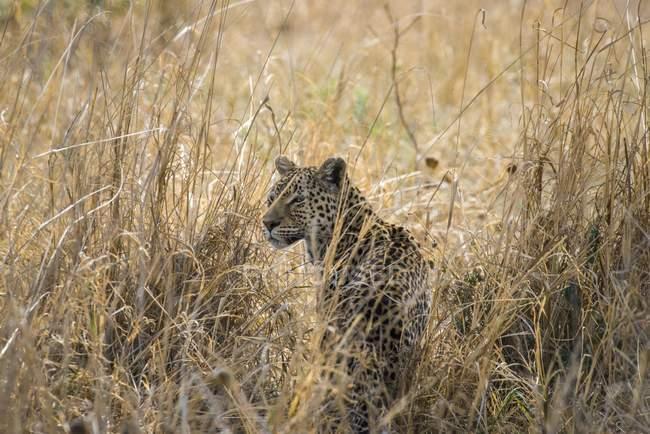 Leopard hiding in grass, Savuti, Chobe National Park, Chobe District, Botswana, Africa — стоковое фото