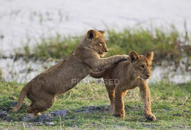 Cuccioli giocosi di leone nel sole del mattino nel Parco nazionale di Chobe, Botswana — Foto stock