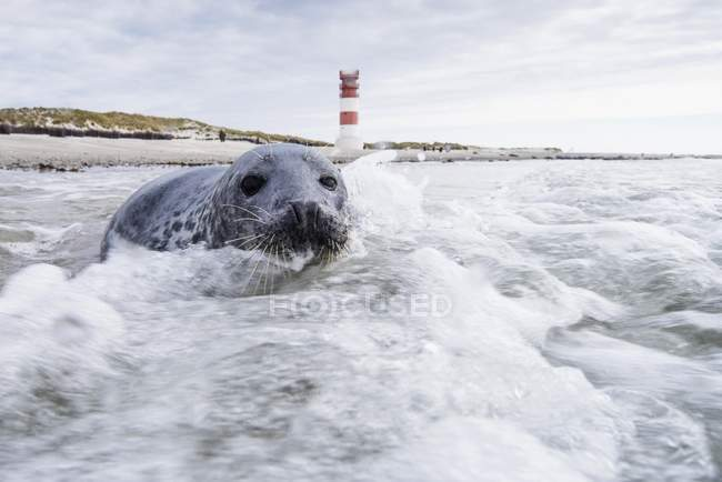 Grey seal swimming in water with lighthouse, North Sea, Germany, Europe — Stockfoto