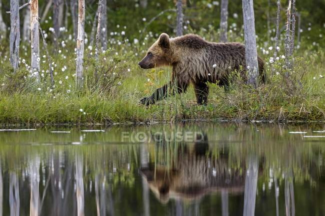 Orso Bruno attraverso erba sulla riva dello stagno nella foresta — Foto stock