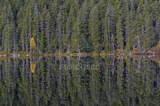 Spruce trees and yellow birch reflecting in Certovo jezero lake, Sumava National Park, Bohemia, Czech Republic, Europe — Stock Photo