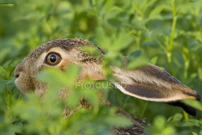Заяц, скрывается в зеленых луговой, макро — стоковое фото