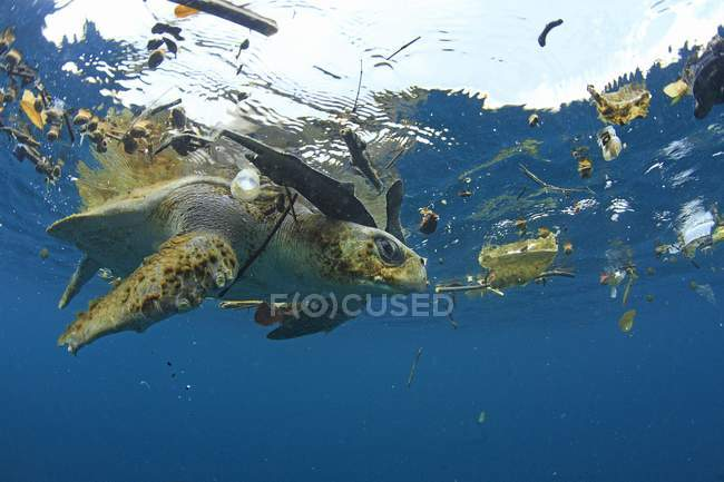 Olive ridley sea turtle swimming in water surrounded by plastic waste, Ile de Contador, Panama, Central America — Stock Photo