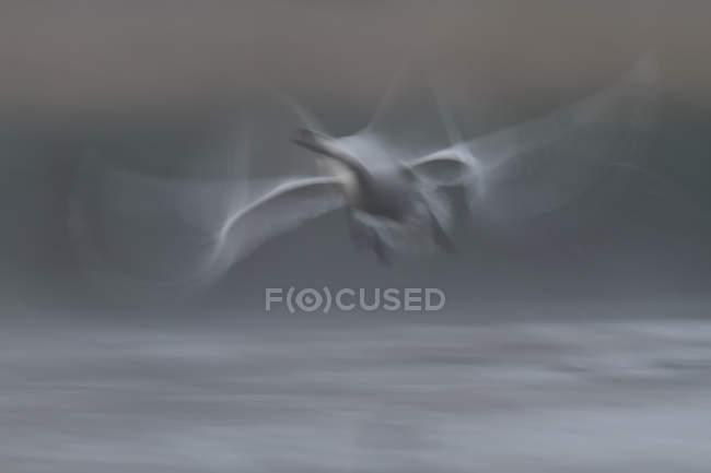 Höckerschwan ab Wasseroberfläche im Morgennebel — Stockfoto