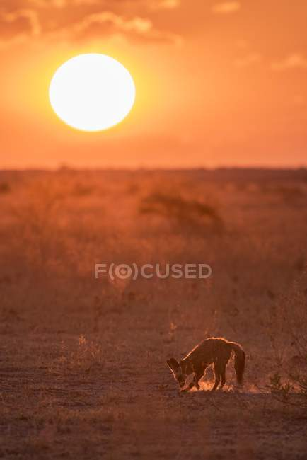 Bat-eared fox foraging in dry grassland at sunset, Nxai Pan National Park, Ngamiland District, Botswana, Africa — Stock Photo