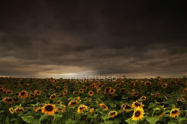 Coltivazione di girasole in campo rurale sotto il cielo drammatico — Foto stock