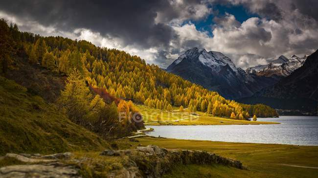 Autumnal discolored larches in front of snow-covered Engadine mountains, Sils, Upper Engadine, Switzerland, Europe — стоковое фото