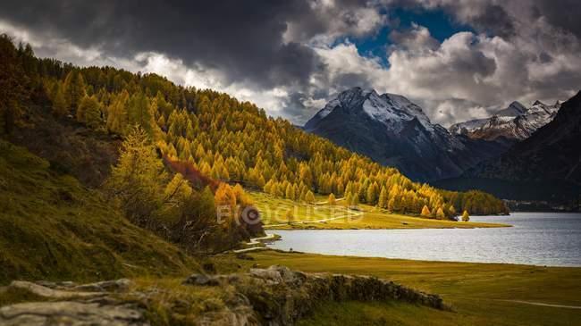 Осенний бесцветные лиственницы перед снегом Энгадин горы, Sils, Верхний Энгадин, Швейцария, Европа — стоковое фото