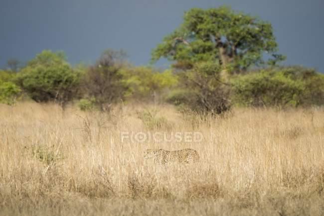 Ghepardo cammuffato in alta erba e caccia, Parco nazionale di Nxai Pan, distretto di Ngamiland, Botswana, Africa — Foto stock