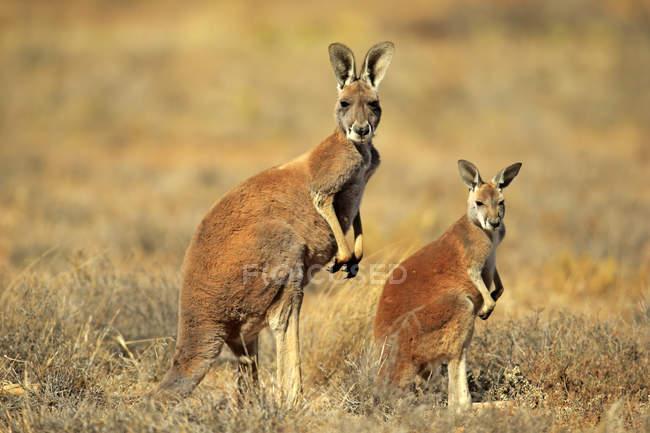 Canguro rosso con vitello in piedi avviso in Australia, Oceania — Foto stock