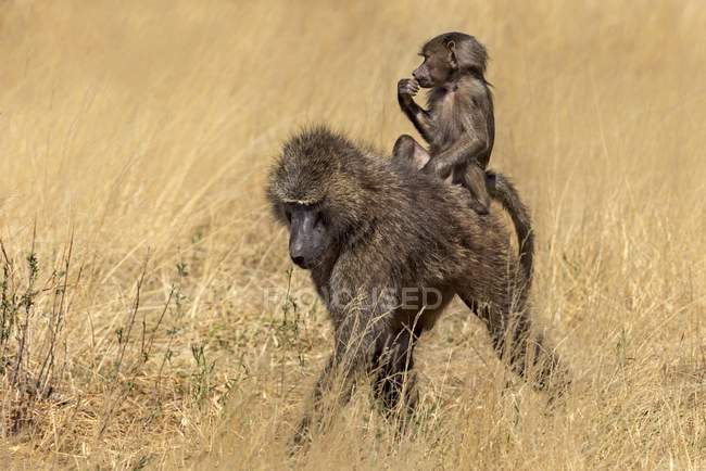 Bebê de babuíno verde-oliva montando a fêmea da espécie no Quênia, África — Fotografia de Stock