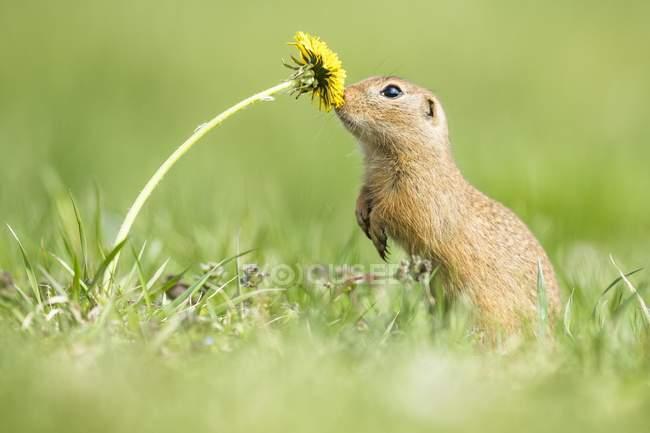Scoiattolo a terra europea sniffing tarassaco fiore in prato — Foto stock