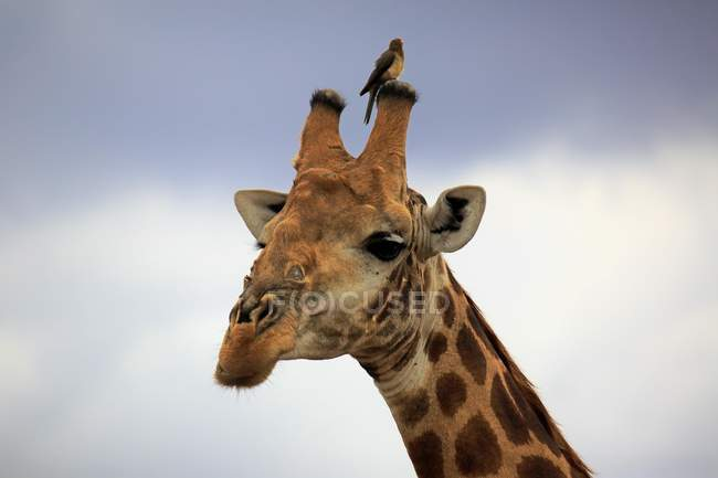South African giraffe portrait with red-billed oxpecker in Kruger National Park, South Africa, Africa — Foto stock