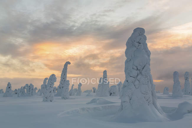 Snow-covered spruce trees, Riisitunturi National Park, Finland, Europe — стоковое фото