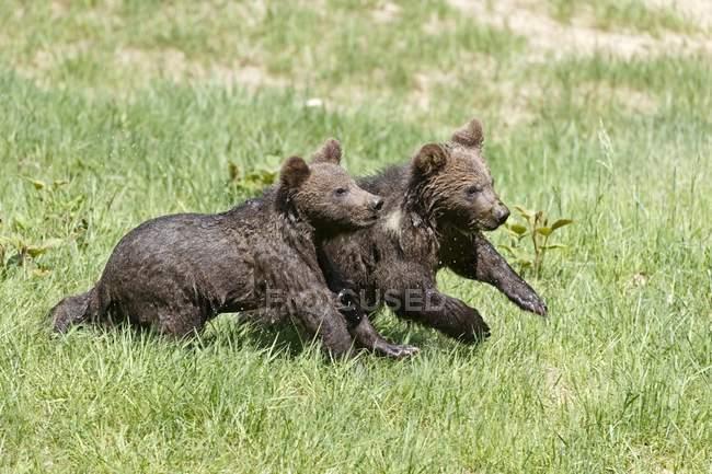 Giovani orsi bruni che attraversano il prato verde — Foto stock