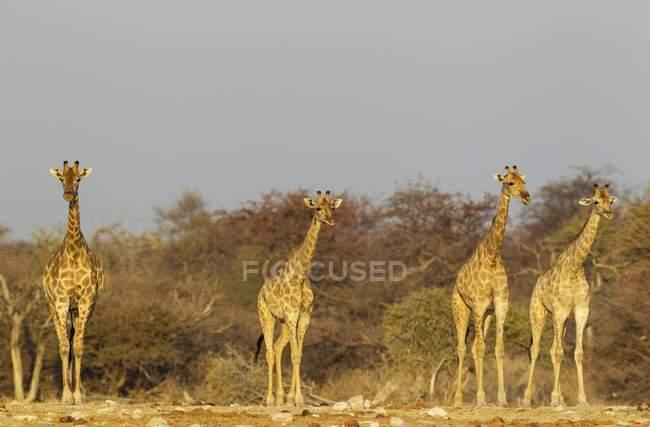 South African giraffes approaching waterhole in evening light, Etosha National Park, Namibia, Africa — стоковое фото