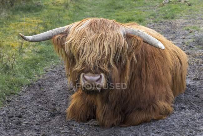 Bestiame dell'altopiano Toro sdraiato, Henne Strand, Danimarca, Europa — Foto stock