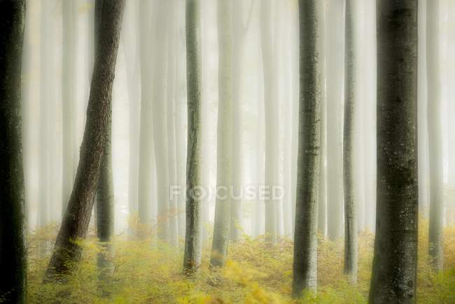 Autumnal beeches in forest with fog, Mindelheim, Unterallgau, Bavaria, Germany, Europe — стоковое фото