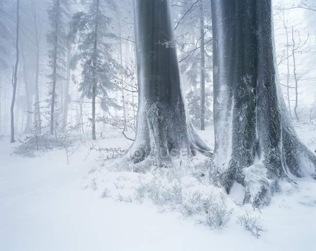 Forest in winter with frost, fog and snow, Battertfelsen, Black Forest, Baden-Wuerttemberg, Germany, Europe — стоковое фото