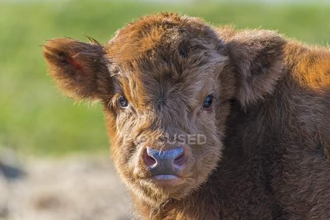 Vitello marrone Highland cattle, ritratto animale — Foto stock