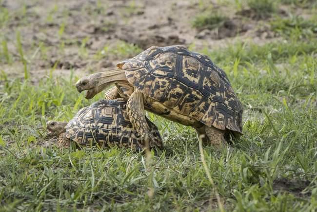 Tortoises mating on green grass, Chobe National Park, Botswana, Africa — стокове фото