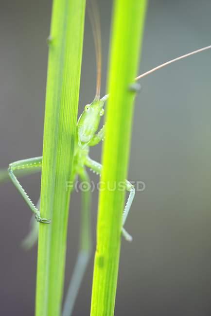 Буш крикет на листків трави, Закри — стокове фото