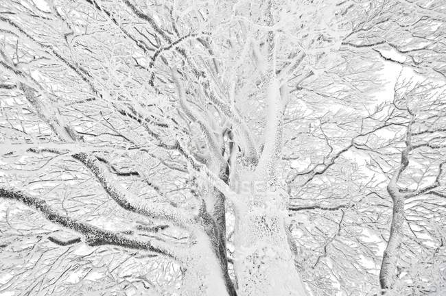 Windbent snow-covered beeches on Mount Schauinsland, Black Forest, Baden-Wuerttemberg, Germany, Europe — стоковое фото