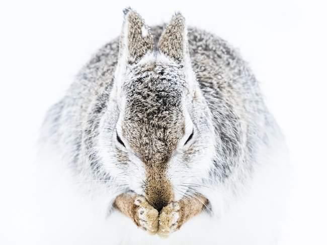 Уборка в снегу, заяц-беляк макро — стоковое фото