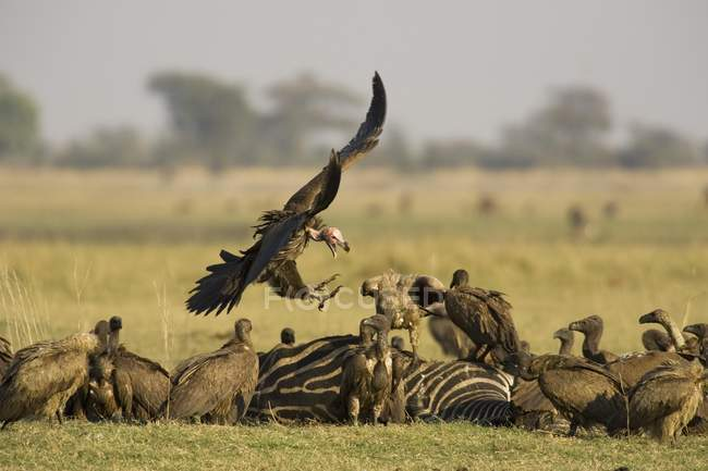 Lappet-faced vulture approaching to carcass of zebra and white-backed vultures in Chobe National Park, Botswana, Africa — Foto stock