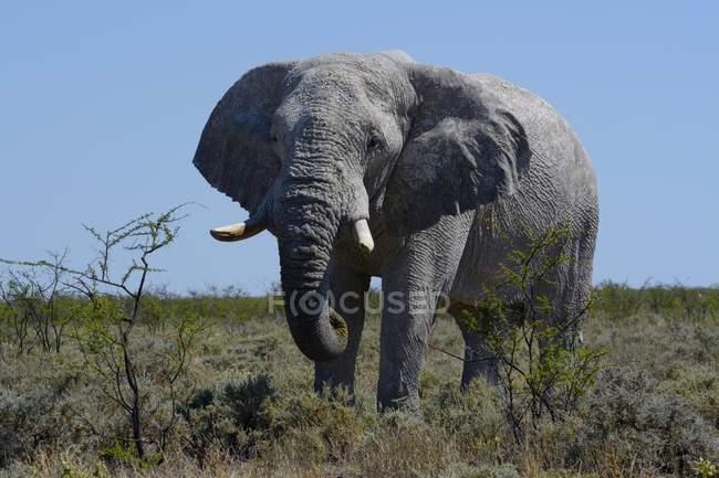 African bush elephant standing in Etosha National Park, Namibia, Africa — Foto stock