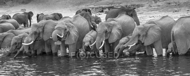 Elefantes africanos em pé em uma linha em Rio de água potável, Parque Nacional de Chobe, Rio Chobe, Botswana, África — Fotografia de Stock