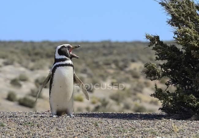 Pinguino di Magellano chiamata in Argentina, Sudamerica — Foto stock