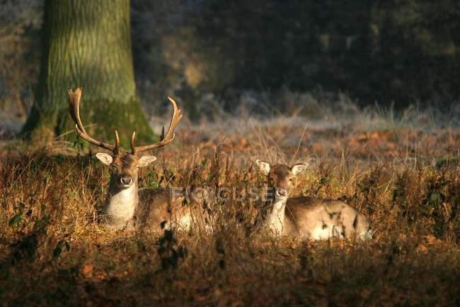 Male and female fallow deer sitting on forest clearing. — стоковое фото