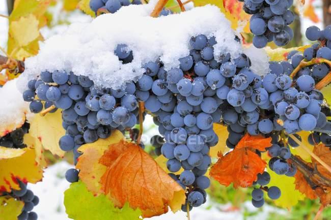 Uva blu con foglie autunnali e la neve in vigna — Foto stock