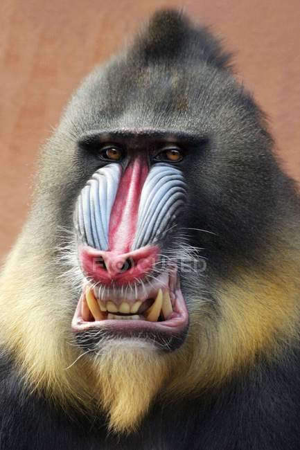 Mandrill ape with aggressive facial expression, portrait — Stock Photo