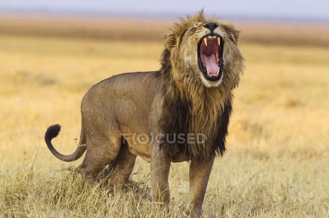 Male lion yawning in Savuti, Chobe National Park, Botswana, Africa — Foto stock
