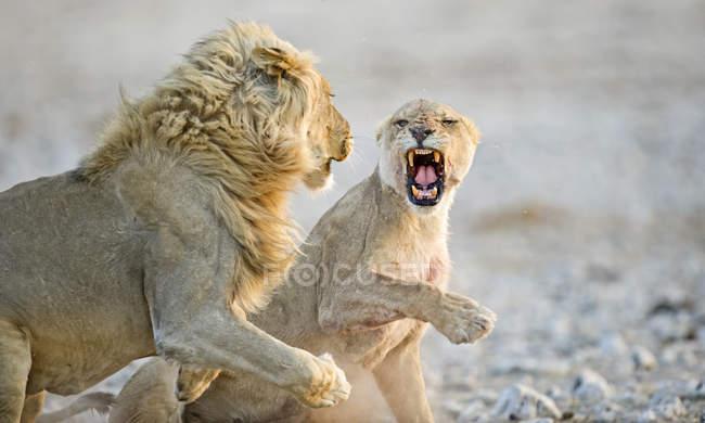 Africano del Leone e leonessa visualizzazione corteggiamento comportamento, Parco nazionale di Etosha, Namibia, Africa — Foto stock