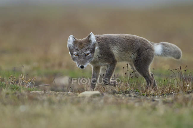Arctic fox stalking on meadow, Spitsbergen, Svalbard, Norway, Europe — стоковое фото