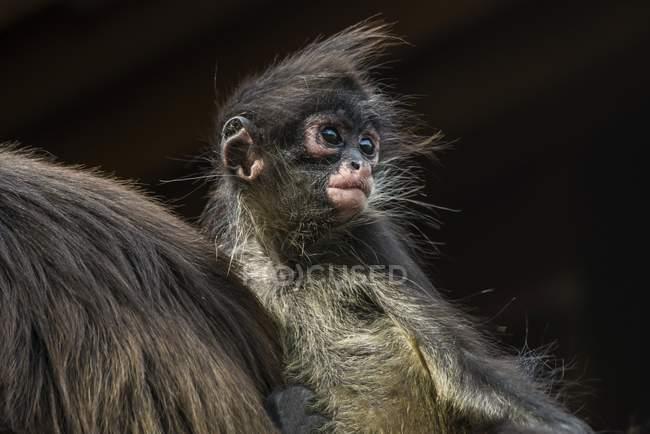 Jogadores preto aranha macaco bebé olhando para longe, close-up — Fotografia de Stock