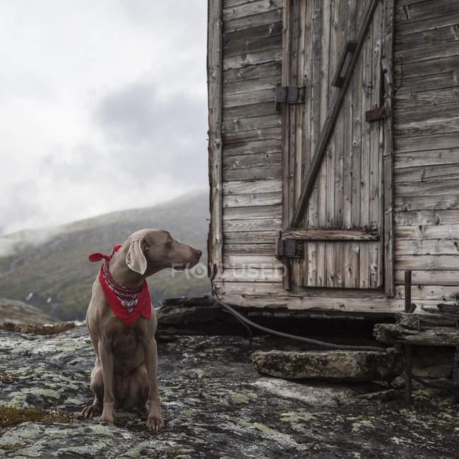 Chien de chasse Braque de Weimar avec foulard rouge assis en face de la vieille cabane en bois dans les montagnes, Litledalen, plus d'og Romsdal, Norvège, Europe — Photo de stock