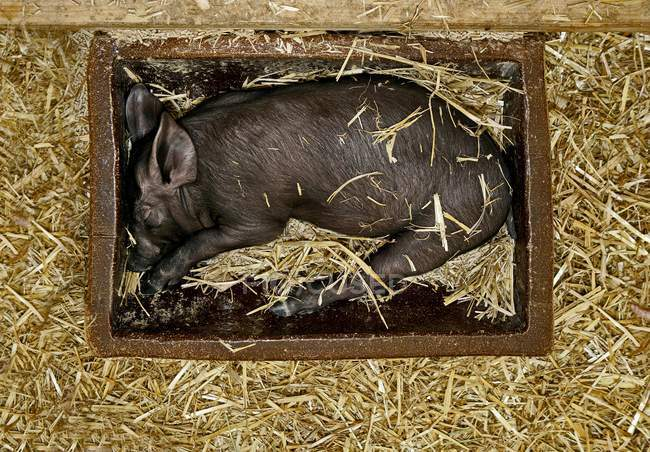 Maialino nero dorme nella mangiatoia in granaio — Foto stock